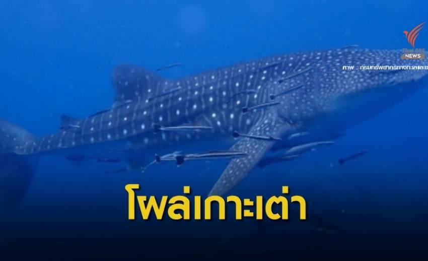 """สยบข่าวทะเลพัง """"ฉลามวาฬ"""" ว่ายโชว์ทีมสำรวจทะเลเกาะเต่า"""