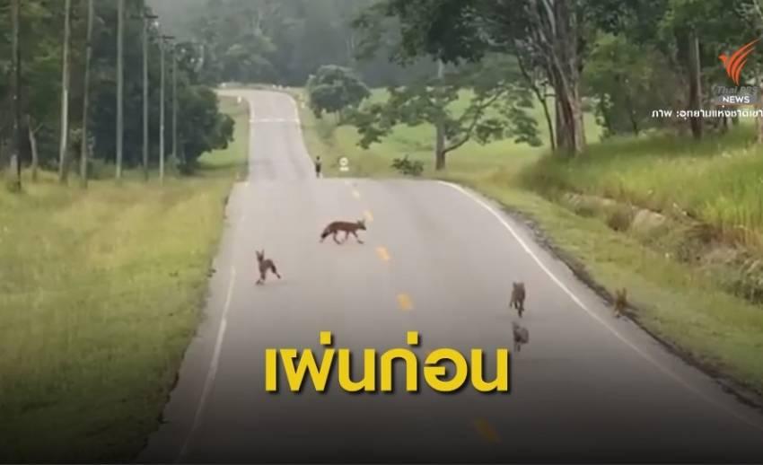 """หาดูยาก! """"หมาจิ้งจอก"""" โกยแนบ หลังถูกฝูงหมาในวิ่งไล่"""