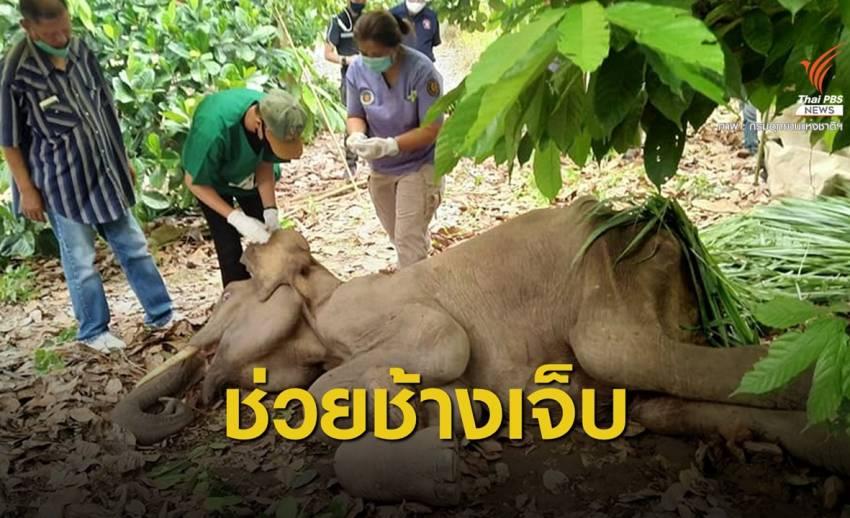 ช่วยช้างป่ากุยบุรีมีแผลที่สะโพก เฝ้าระวังติดเชื้อ