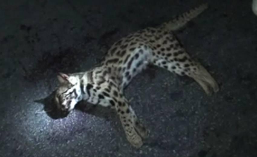 เสือห้วยขาแข้งถูกรถชนตาย บนถนนสายลานสัก-บ้านไร่ จ.อุทัยธานี