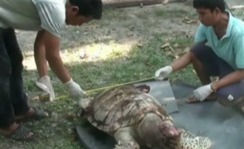 เต่าตนุศูนย์อนุรักษ์ตายเกยชายหาดบางพระ จ.ชลบุรี