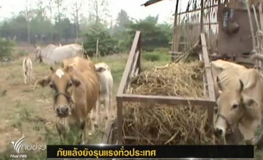 ผู้เลี้ยงโค-กระบือซื้อฟางข้าวใช้เลี้ยงสัตว์ หลังประสบภาวะภัยแล้ง