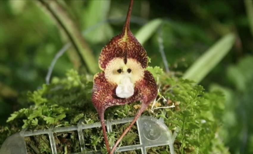 """""""กล้วยไม้หน้าลิง"""" ต้นไม้แปลกหาดูยาก"""