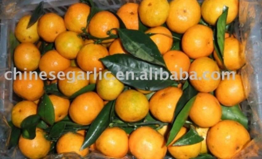"""เกษตรฯตรวจเข้ม""""ส้ม"""" นำเข้าจากจีน รับตรุษจีน แยก""""ใบส้ม"""" คุมโรค - ขยะต้องกำจัดเพิ่ม"""