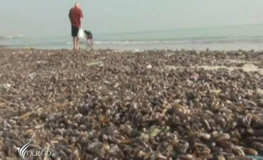 """จนท.เทศบาลเมืองหัวหินเร่งเก็บ """"ซากหอยกะพง"""" หลังตายเกลื่อนชายหาด"""