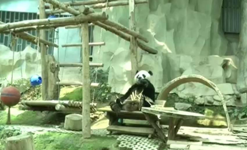 """ผอ.สวนสัตว์เชียงใหม่ย้ำรัฐจ่ายปีละ 29 ล้านบาท ยืดอายุ """"หลินปิง"""" อยู่ไทยคุ้มค่า"""