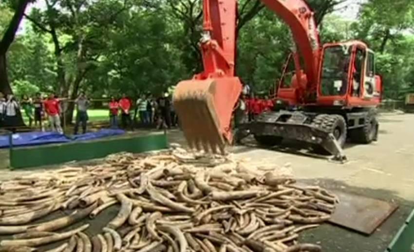 ฟิลิปปินส์ทำลายงาช้างผิดกฏหมายกว่า 5 ตัน