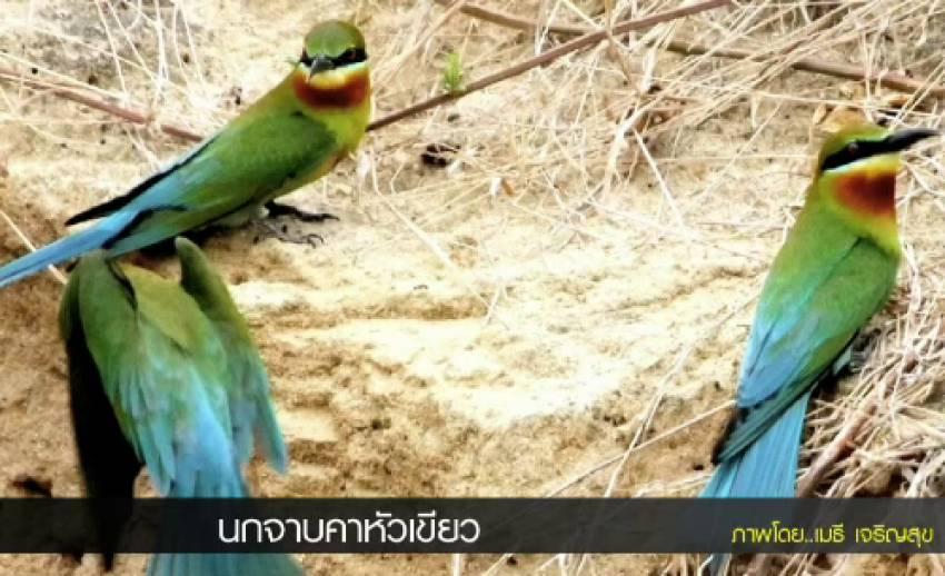 """""""นกจาบคาหัวเขียว"""" นกอพยพทำรังในไทยช่วงเดือนก.พ.-มิ.ย."""