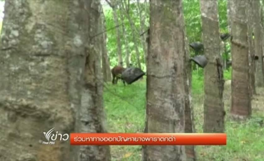 ชาวสวนยางพาราหลายจังหวัดไม่พอใจแนวทางการช่วยเหลือของรัฐบาล