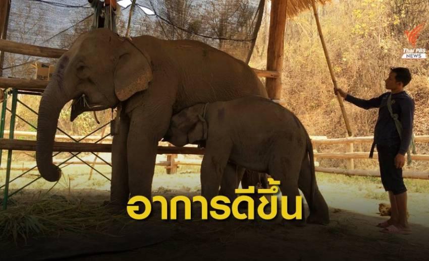"""""""ช้าง 5 เชือก"""" กินยาฆ่าหญ้า อาการดีขึ้น-กินอาหารได้"""