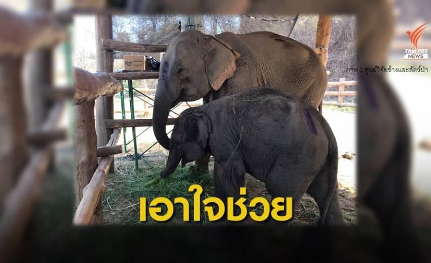 สัตวแพทย์เร่งช่วยช้างกินพาราควอต ถึงลำปางแล้ว 3 เชือก