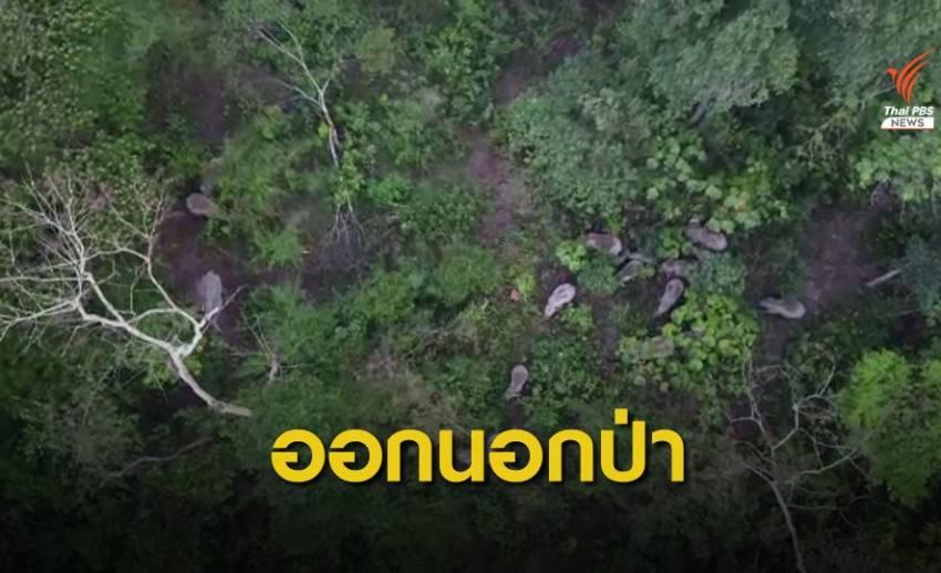 """ช้างป่า 20 ตัวออกนอกพื้นที่ """"เขาใหญ่"""" ใกล้ชุมชน"""