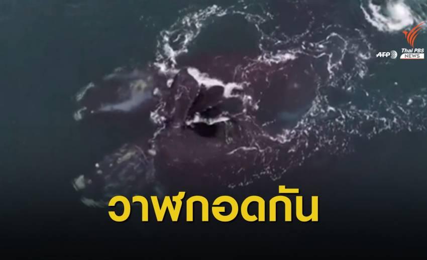 เผยภาพวาฬกอดกันในสหรัฐฯ
