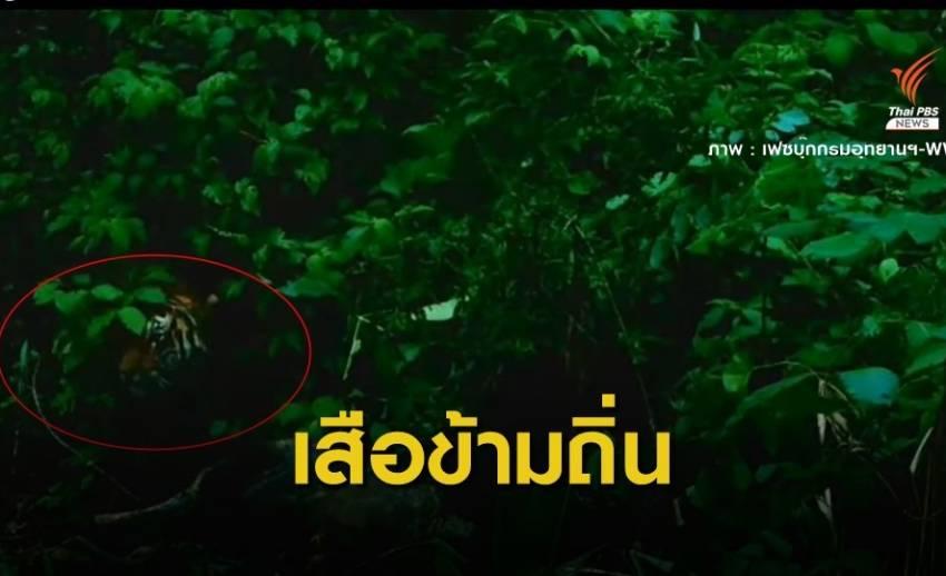 """เปิดหลักฐาน """"เสือโคร่ง"""" รหัส HKT-262F หากินข้ามถิ่นถึงป่าแม่วงก์"""