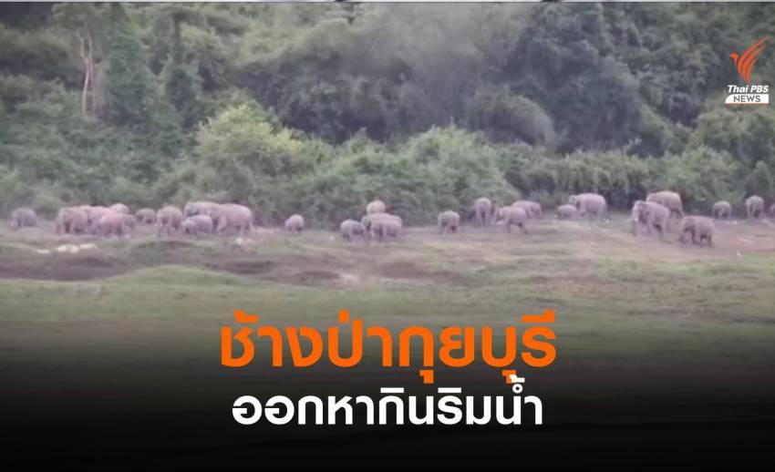 พบช้างป่ากุยบุรีกว่า 30 ตัว ออกหากินริมน้ำ