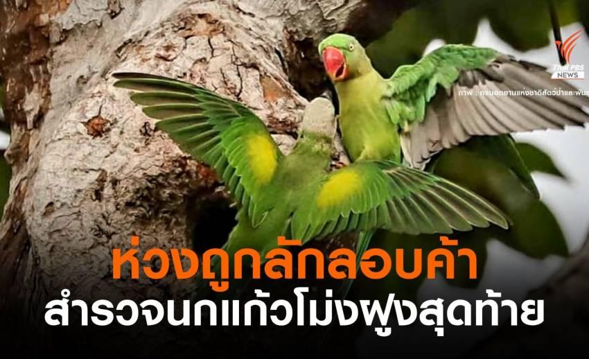 """อุทยานฯ ส่งทีมอนุรักษ์ """"นกแก้วโม่ง"""" ห่วงถูกจับลอบค้า"""