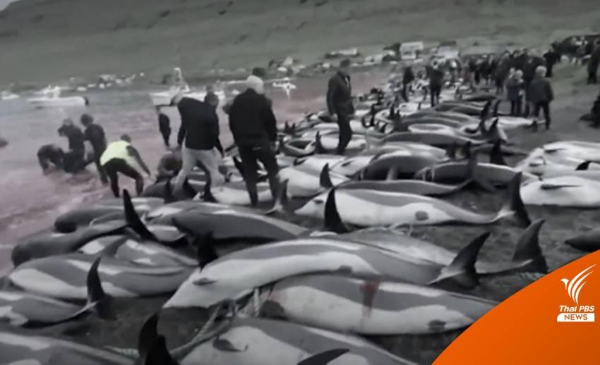 """กลุ่มต่อต้านล่าวาฬฯ ประณามหมู่เกาะแฟโรฆ่า """"โลมา"""" กว่า 1,400 ตัว"""