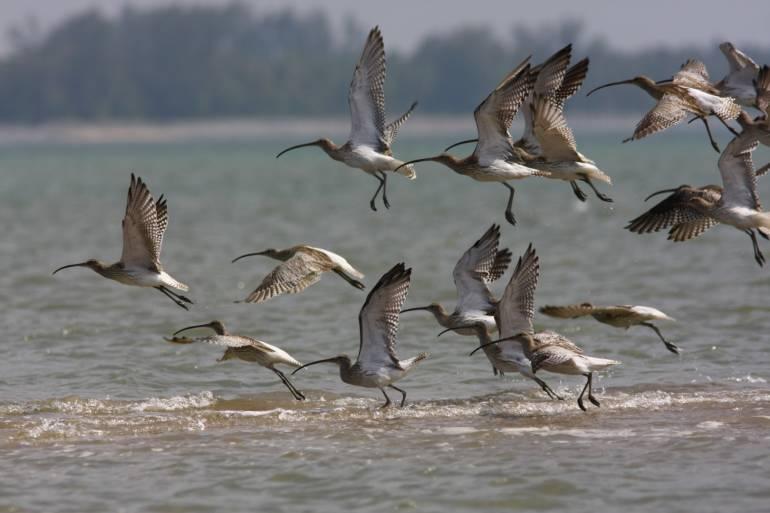 ฝูงนกอีก่อยใหญ่ (สมาคมอนุรักษ์นกและธรรมชาติแห่งประเทศไทย)