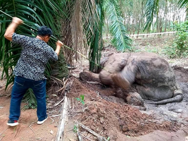 """, รอลุ้น 2 สัปดาห์ผลรักษา """"งาสั้น"""" ช้างป่าบาดเจ็บถูกยิง"""