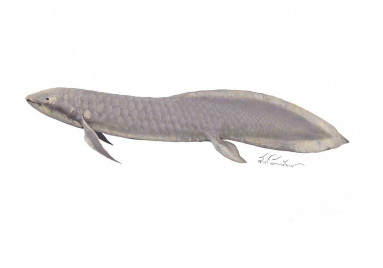 """, ชนิดใหม่โลก! ฟอสซิล """"ปลาปอด"""" 150 ล้านปี จากแหล่งภูน้อย"""