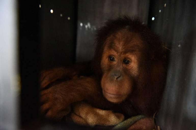 """, ส่งคืน """"นาตาลี- อุ๋งอิ๋ง"""" ลิงอุรังอุตังกลับอินโดนีเซีย"""