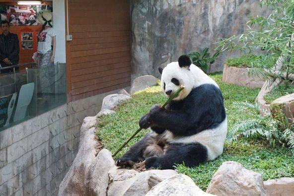 """, สวนสัตว์เชียงใหม่มอบเค้กน้ำแข็งฉลองวันเกิด """"หลินฮุ่ย"""" ครบ 20 ปี"""
