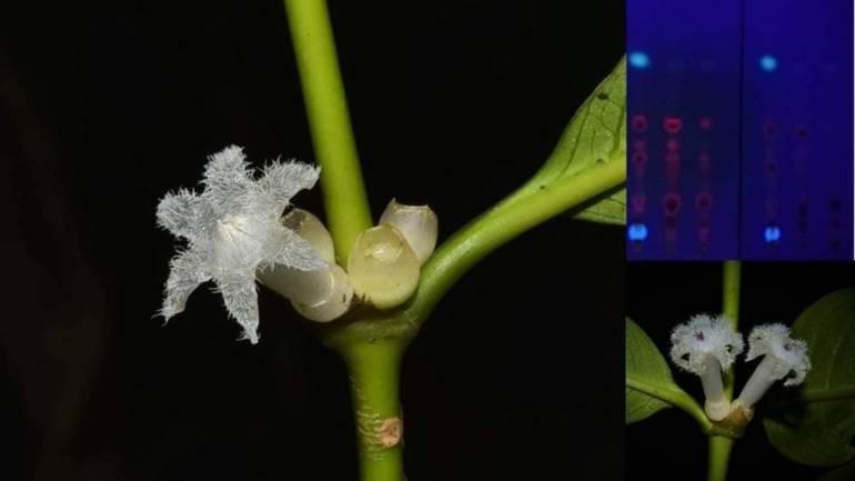 """, ค้นพบพืชชนิดใหม่ """"ดาราพิลาส"""" ส่งเสริมแหล่งท่องเที่ยวอันดามัน"""