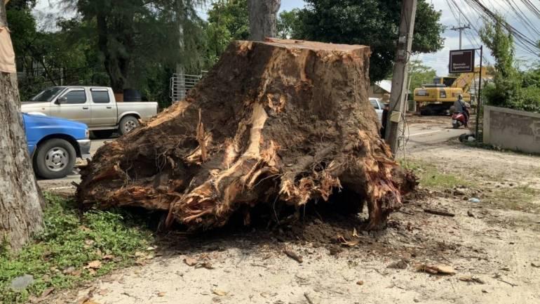 , ตรวจรากต้นยางนาล้มทับบ้าน พบรากไม่สมบูรณ์-แห้ง-ไม่ยึดหน้าดิน