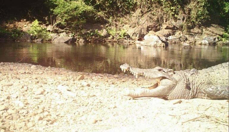 , หายาก! ถ่ายภาพจระเข้น้ำจืดต้นแม่น้ำเพชร