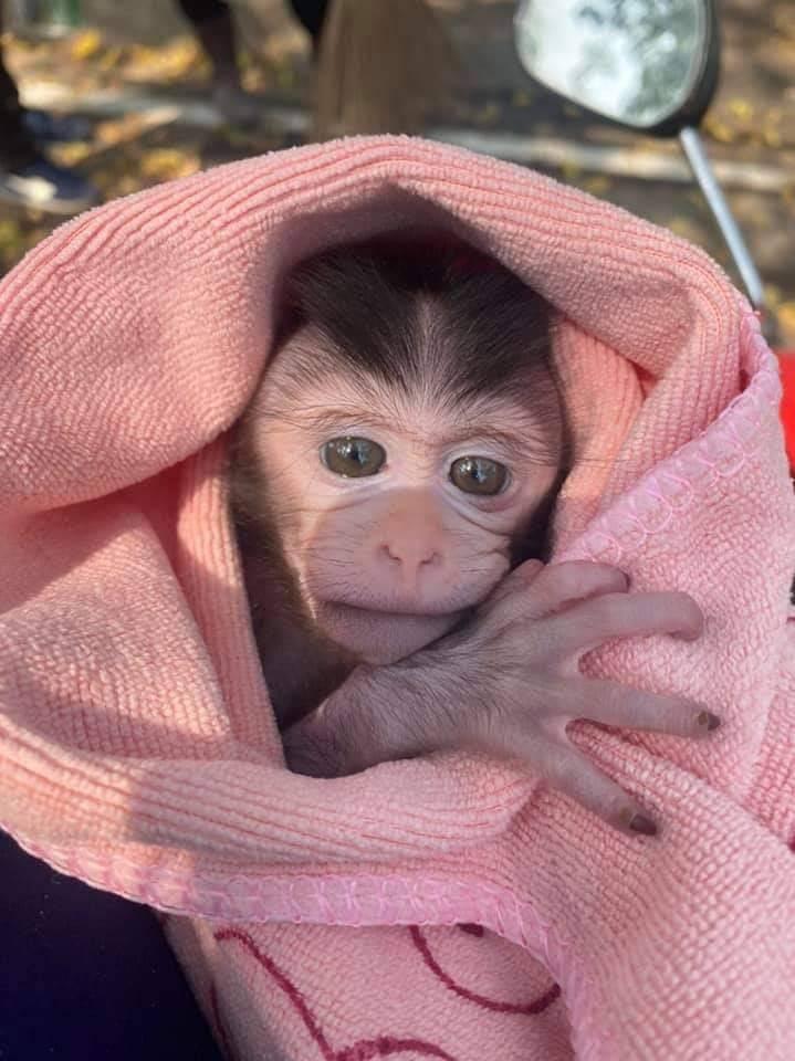 , น่าสงสาร! ลูกลิงแสม 1 เดือนกำพร้าแม่ถูกรถชนตาย