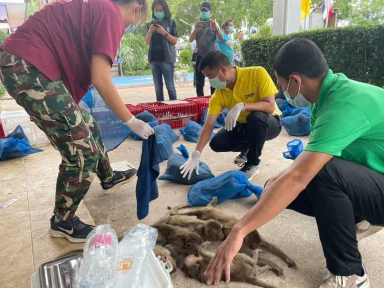, กรมอุทยานฯ ตั้งรพ.สนามช่วยชีวิตลิง 88 ตัว รอดค้าเปิบพิสดาร