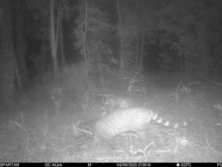 """, ข่าวดีพบ""""แมวลายหินอ่อน"""" สัตวป่าหายากใกล้สูญพันธุ์บนเขาใหญ่"""