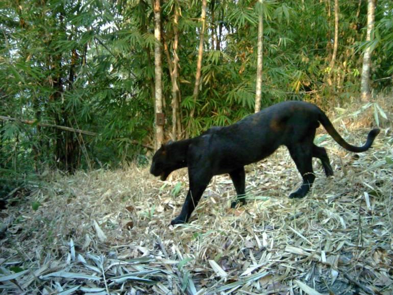 , เปิดภาพเสือ 5 ชนิด ในป่าตะวันตกพื้นที่กาญจนบุรี