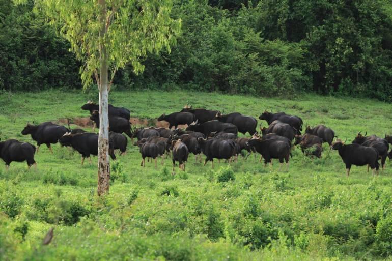 """, จับตา!  """"วัวแดง 4 ตัว"""" ป่ากุยบุรี สงสัยรอยโรคลัมปี สกิน"""