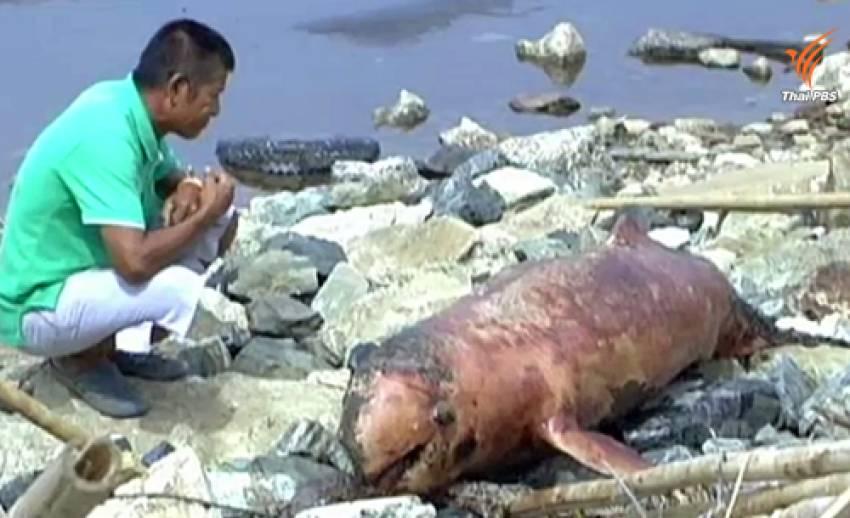 พบซากโลมาเกยตื้นที่ จ.สมุทรปราการ คาดถูกใบพัดเรือกระแทก