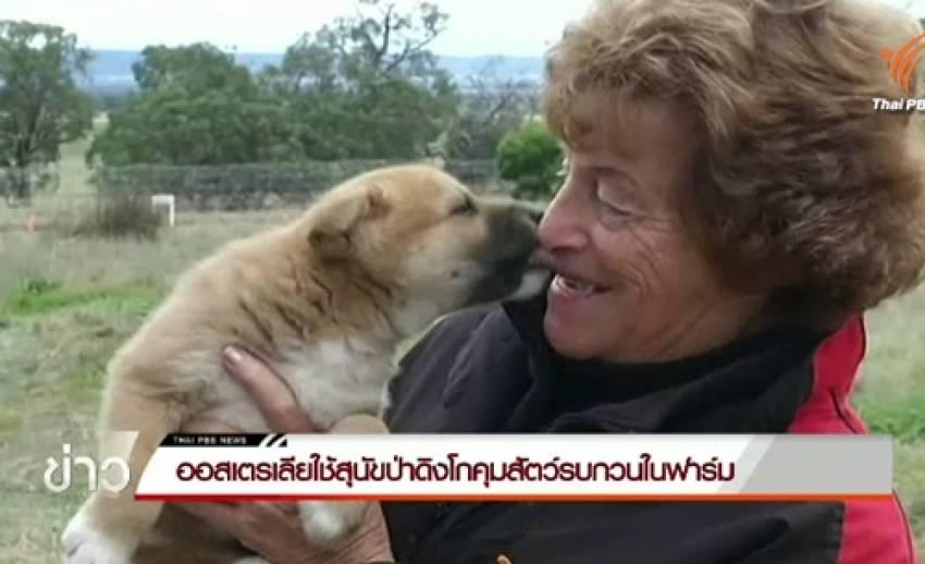 ออสเตรเลียเพาะพันธุ์สุนัขป่าดิงโกใช้คุมสัตว์รบกวนในฟาร์ม