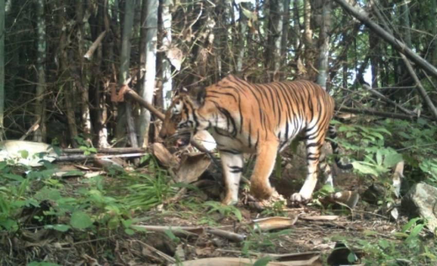 บันทึกภาพ'เสือโคร่ง'ป่าตะวันตกได้ 134 ตัว ปรับแผน-หวังเพิ่มอีก 50 % ภายในปี 2565