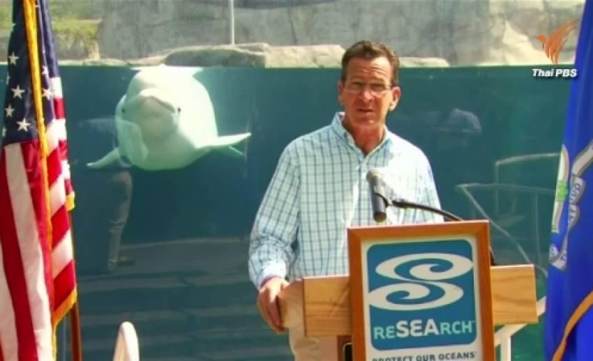 วาฬเบลูก้าแย่งความสนใจจากผู้ว่าการรัฐคอนเนคติกัต