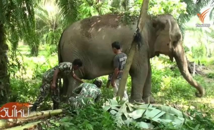 ช้างป่ารุมทำร้ายช้างบ้านใน จ.ชุมพร บาดเจ็บสาหัส