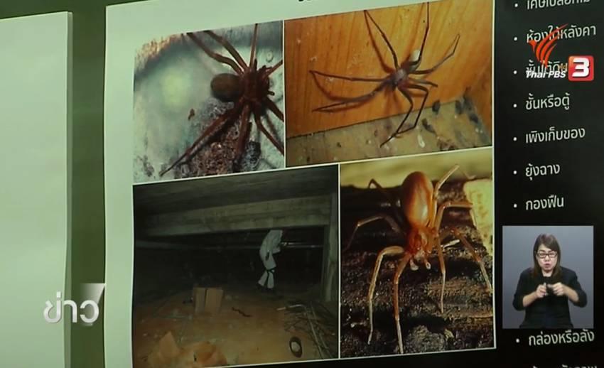 นักวิชาการด้านกีฏวิทยา จุฬาฯ ค้นพบแมงมุมสันโดษ เมดิเตอร์เรเนียน พิษรุนแรง ครั้งแรกในไทย ที่ จ.กาญจนบุรี