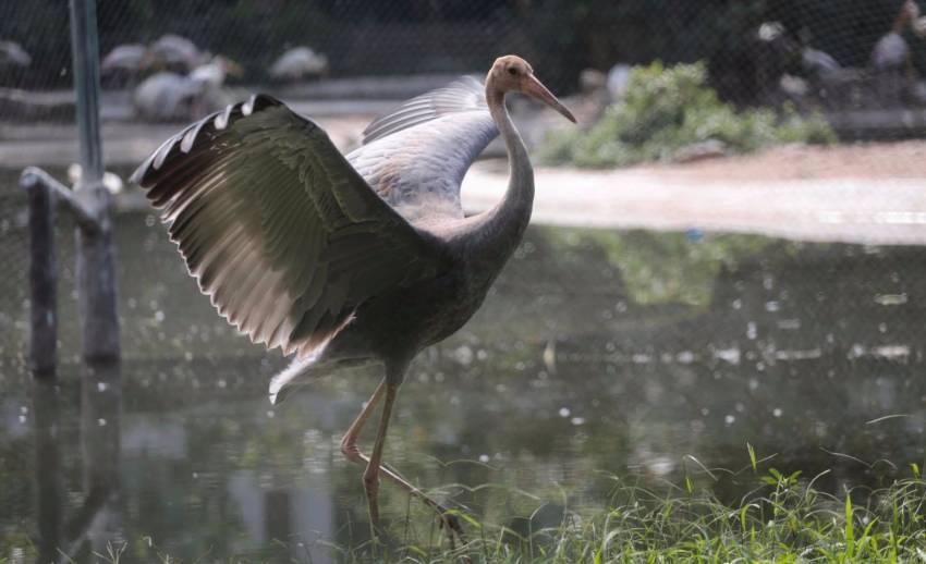 """เปิดภาพ ลูก """"นกกระเรียน"""" พันธุ์ไทย สมาชิกใหม่ของสวนสัตว์ดุสิต"""