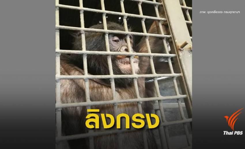 """ถอนอายัด """"ปิ๊กมี่ ชิมแปนซี"""" สวนสัตว์พาต้าถูกกฎหมาย"""
