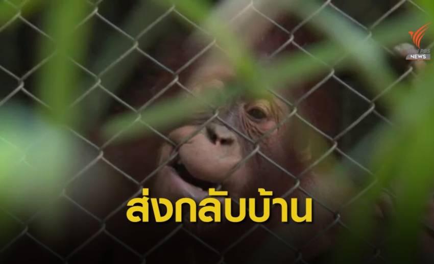 """ส่งกลับ """"ไจแอนท์-โคลา"""" ลิงอุรังอุตังคืนอินโดนีเซีย"""
